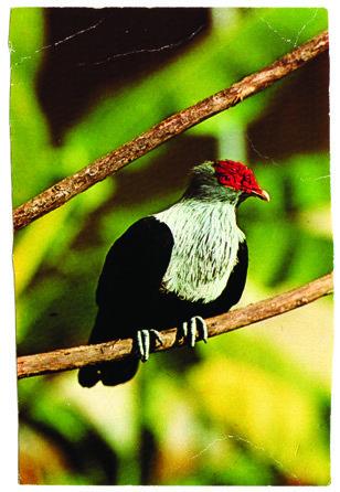 97dutch-pigeon.jpg