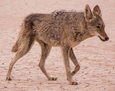 109-coyote-380x300