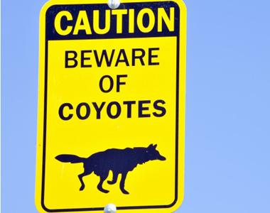 109-coyote-beware-380x300