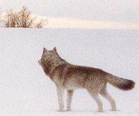 Forsythe_Wolf-teaser.jpg